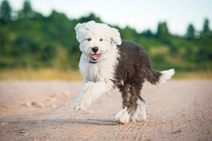 Bobteilas - šuniukas
