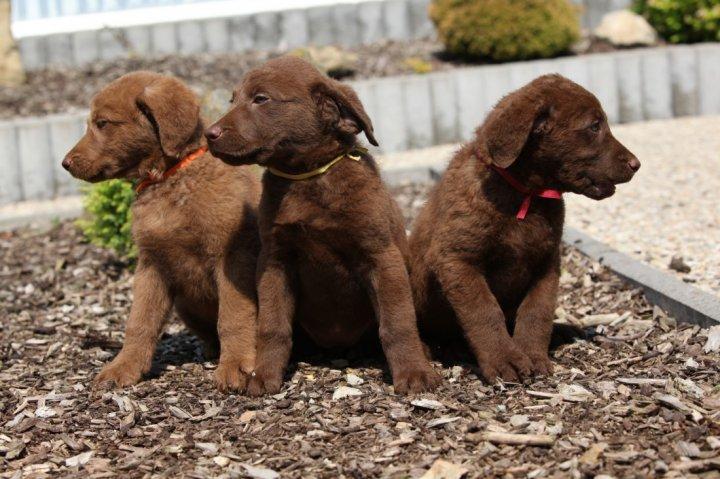 Česapyko įlankos retriveris - šuniukas